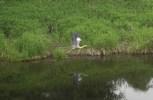 fliegender Fischreiher spiegelnd im Wasser