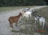 Ziegenherde Bewohner des Naturschutzgebietes