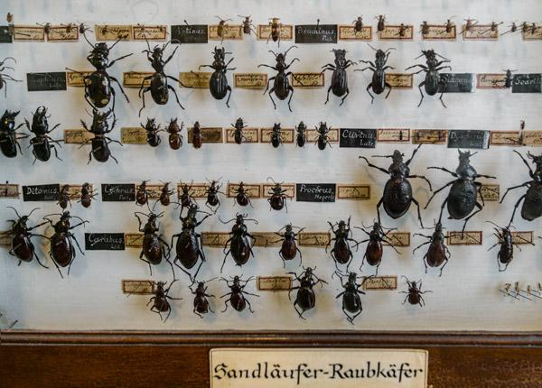 Naturalienkabinett Waldenburg, Raubkäfer Sammlung