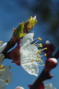apricot blossom 4