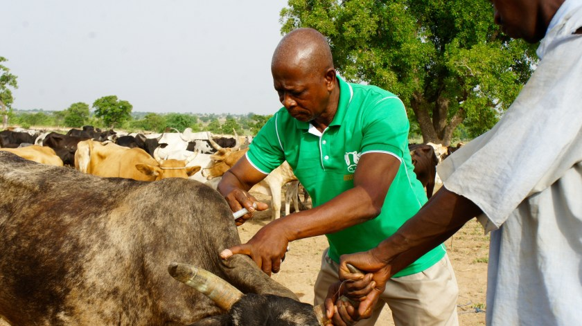 Agritech vaccinating cows