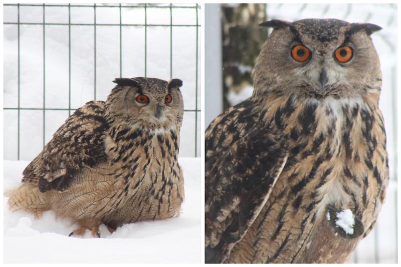 Van Purmerend via Artis naar een Roemeense zoo: hier woont de 'terror-oehoe' nu