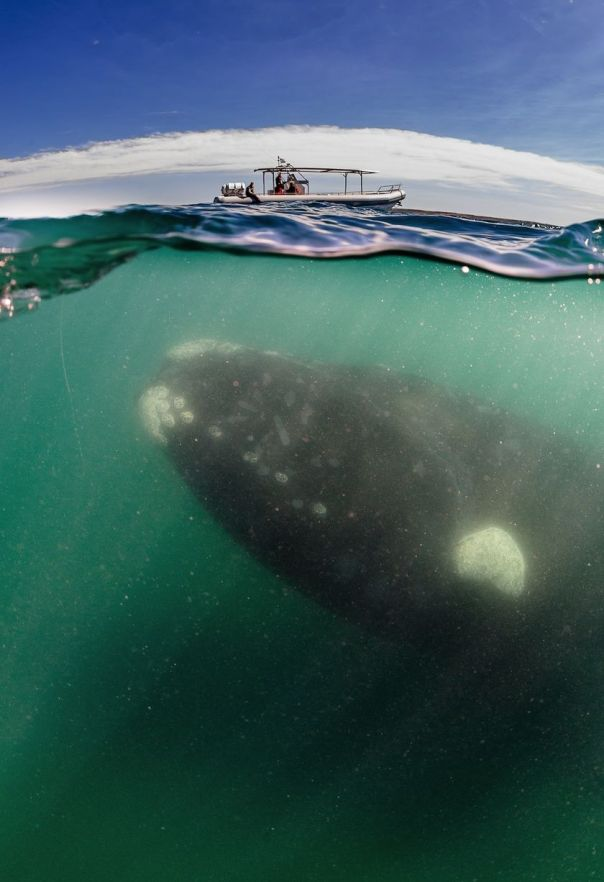 A-southern-right-whale-mother-seen-under-a-whale-watching-boat-in-Peninsula-Valdez-Argentina-2939967
