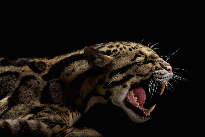Impressionantes fotos de estúdio de felinos
