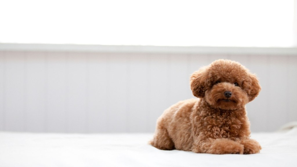 Poodle - One of Canada's most popular dog breeds available for your Microsoft Teams virtual background. Get the best Dog Microsoft Teams Backgrounds.