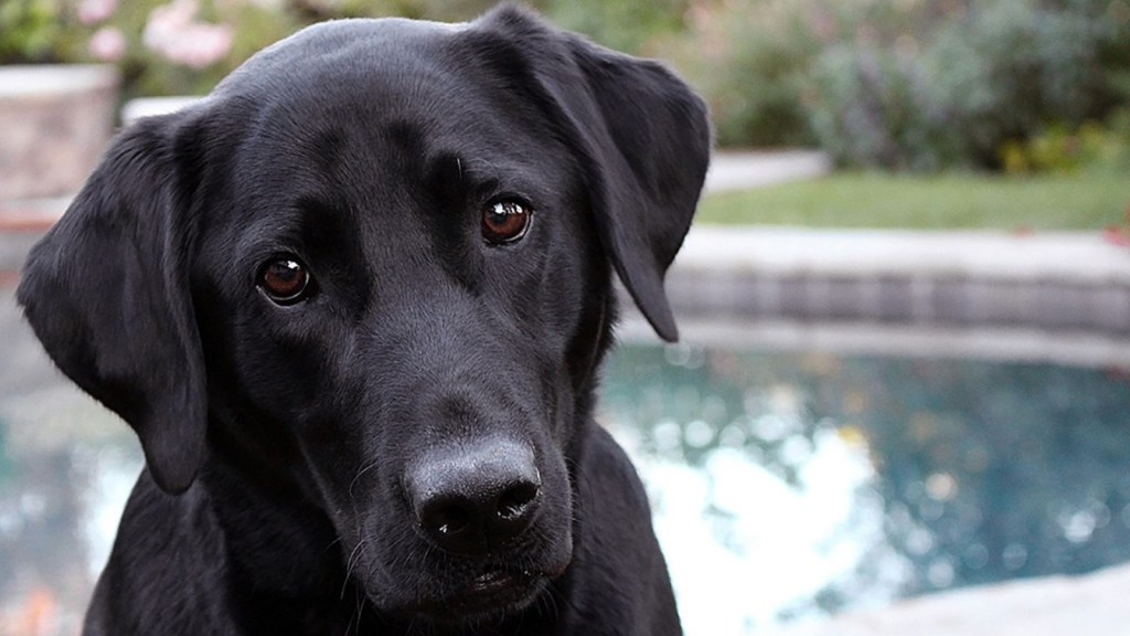 Labrador Retriever - One of Canada's most popular dog breeds available for your Microsoft Teams virtual background.