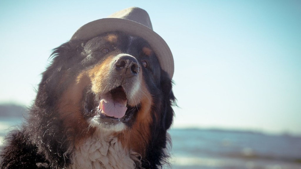 Bernese Mountain Dog - One of Canada's most popular dog breeds available for your Microsoft Teams virtual background.