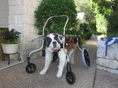 Angel the Saint Bernard in a 4-wheel cart or wheelchair