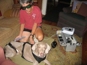 me giving laser therapy treatment for pain control and nerve regeneration on Magnolia the Weimaraner after spinal surgery