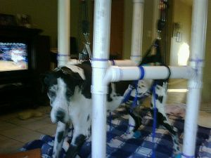 Sully the formerly paralyzed Great Dane supported in a stand rehabdeb built