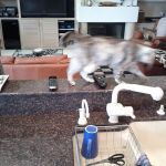 Cat doing cavaletti work by walking and stepping over tv clickers lined up on a bar top