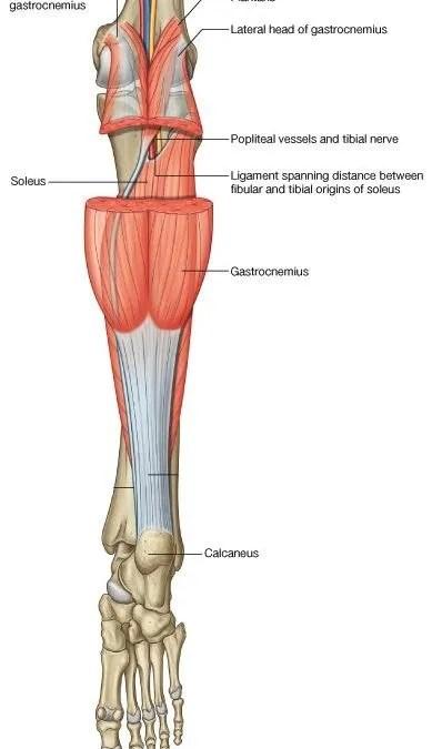Músculo sóleo: anatomía patológica - Rehabilitación Premium Madrid