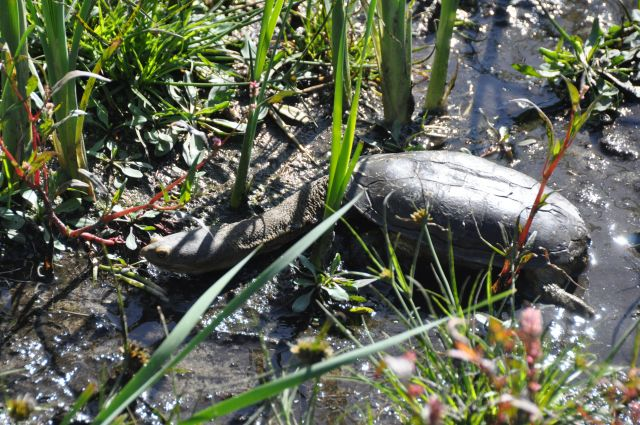 Oblong turtle july 2011.jpg2