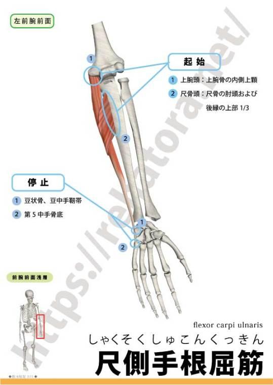 尺側手根屈筋の起始停止