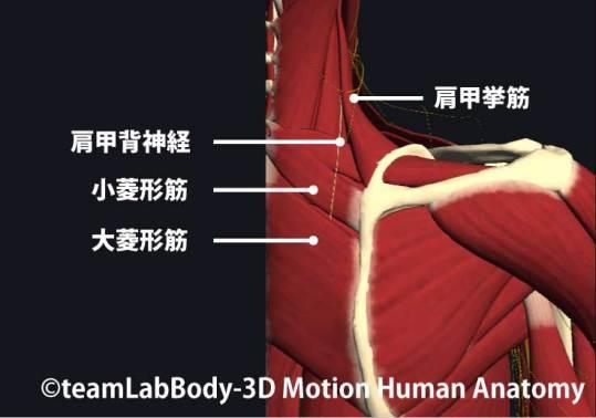 菱形筋と肩甲背神経