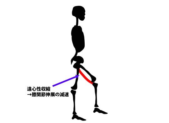 歩行時の筋活動|ハムストリング