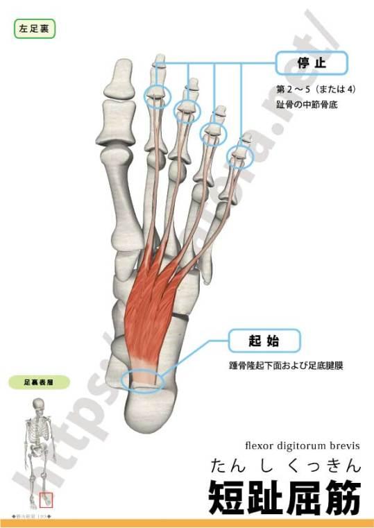 短趾屈筋の起始停止
