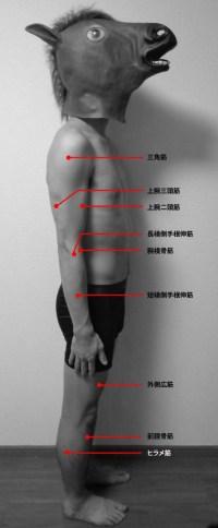 側面からみた運動点/三角筋、上腕二頭筋、上腕三頭筋、腕橈骨筋、長橈側手根伸筋、短橈側手根枝筋、外側広筋、前脛骨筋、ヒラメ筋