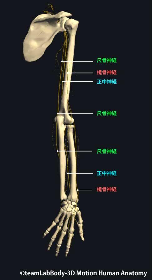 橈骨神経後面
