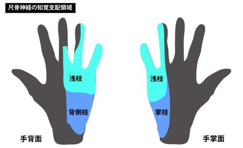 尺骨神経の知覚領域|掌側枝と背側枝|浅枝2