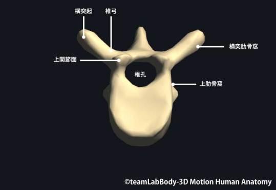 第7胸椎上面