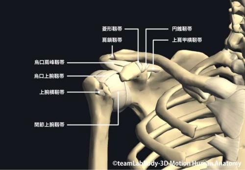 肩関節の靱帯