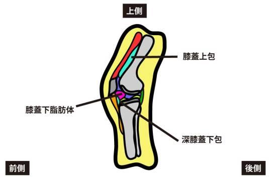 膝蓋上包と膝蓋下脂肪体|膝関節の可動域制限因子