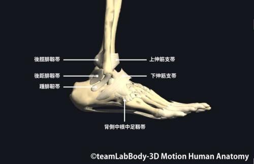 足関節の靱帯外側面