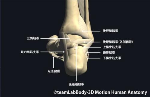 足関節の靱帯後面