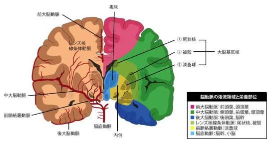 脳動脈の還流領域