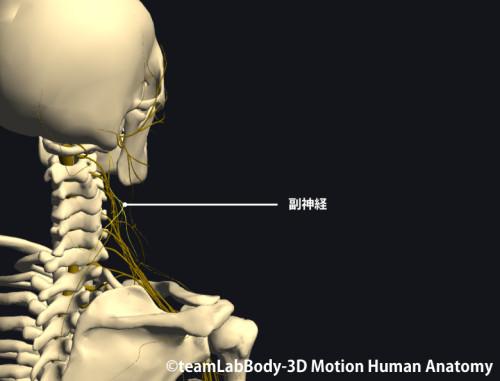 僧帽筋の支配神経|副神経