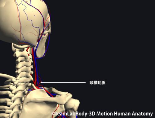 僧帽筋の栄養血管|頚横動脈