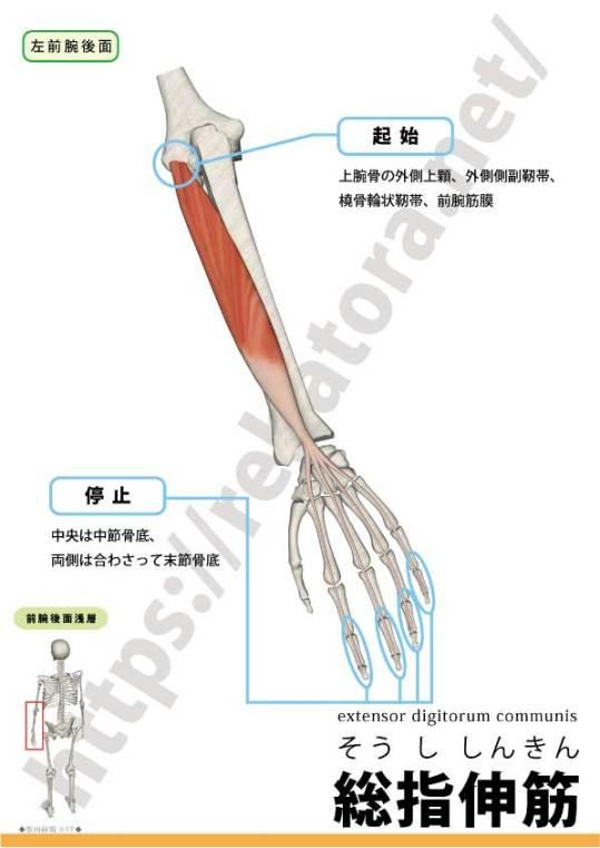 総指伸筋の起始停止