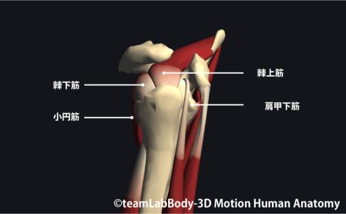 肩関節腱板筋