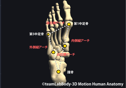 足関節のアーチ|横アーチ|内側アーチ|外側アーチ