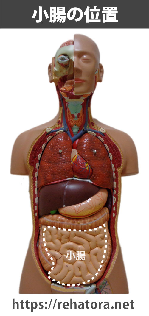 小腸の位置