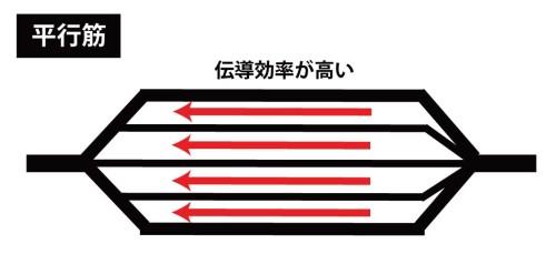 平行筋と筋伝導効率