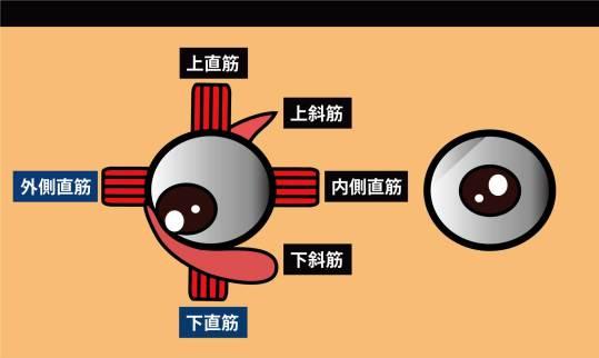 眼の筋|外側直筋,下直筋
