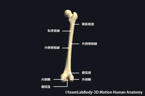 大腿骨後面|部位の名称