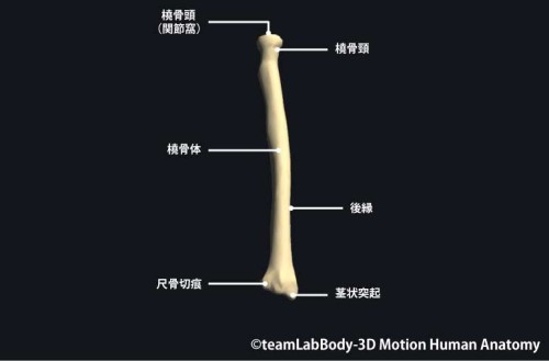 橈骨後面|各部位の名称