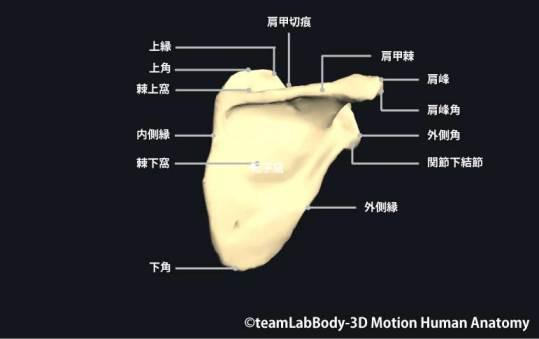 肩甲骨後面|各部位の名称