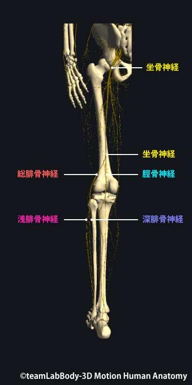 下肢神経後面