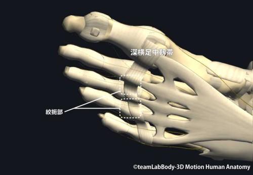 足底趾神経と横足靱帯