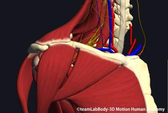 鎖骨下筋と大胸筋