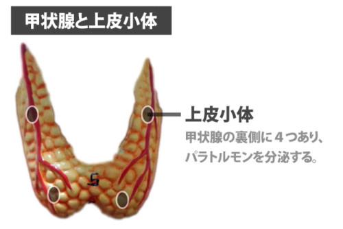 甲状腺と上皮小体