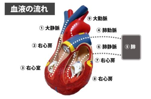 心臓の位置と関連痛領域について...