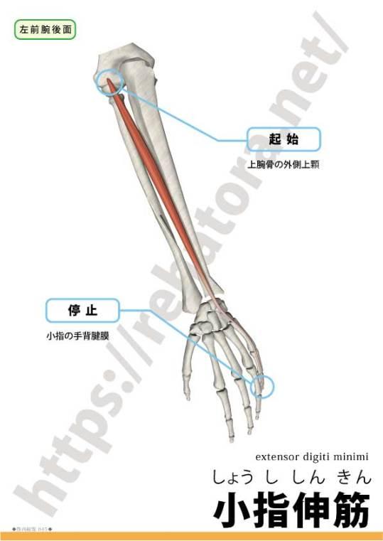 小指伸筋の起始停止