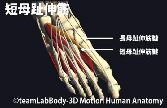 短母趾伸筋の触診1