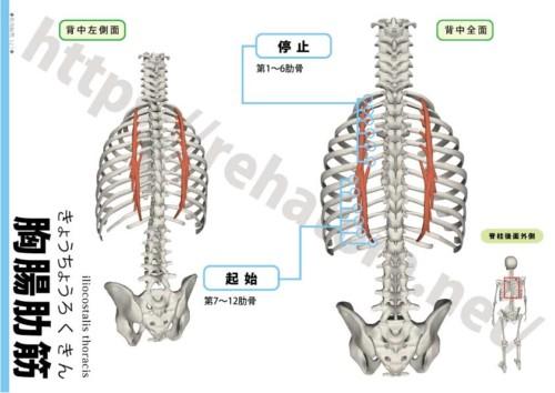 胸腸肋筋の起始停止
