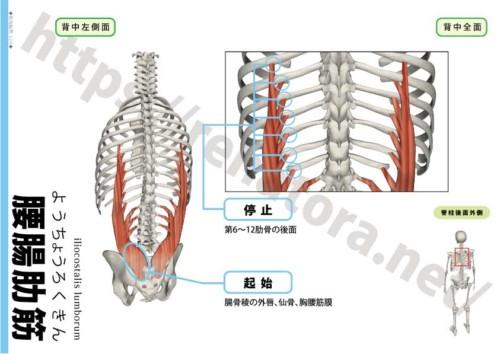 腰腸肋筋の起始停止